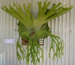 Large Staghorn Collina Nursery NSW